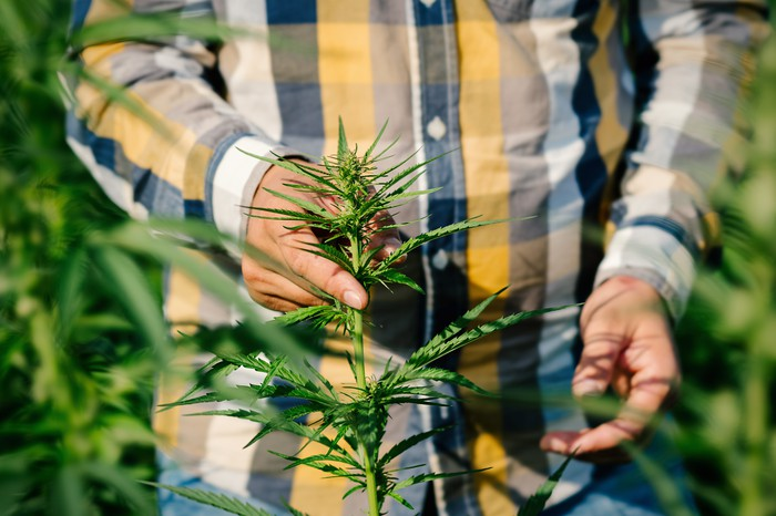 Man wearing yellow, black, and white plaid button-down shirt stands in the middle of tall cannabis plants, holding one with his right hand.
