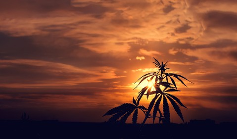 Cannabis plant at sunset outside