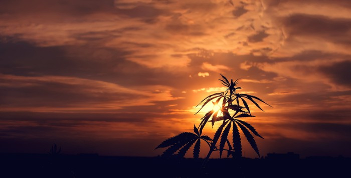 A marijuana plant is silhouetted against a sunset.