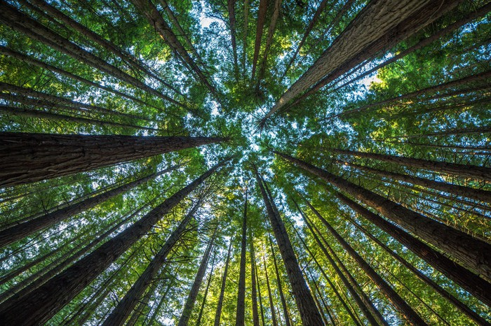 A view from below of tall trees