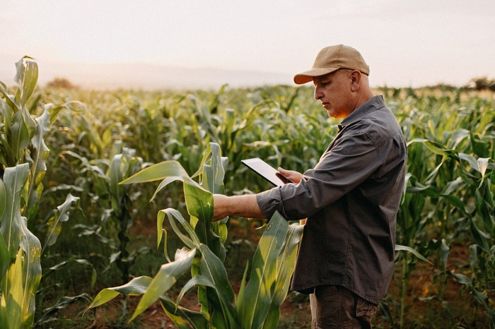 Man examining corn plants in field