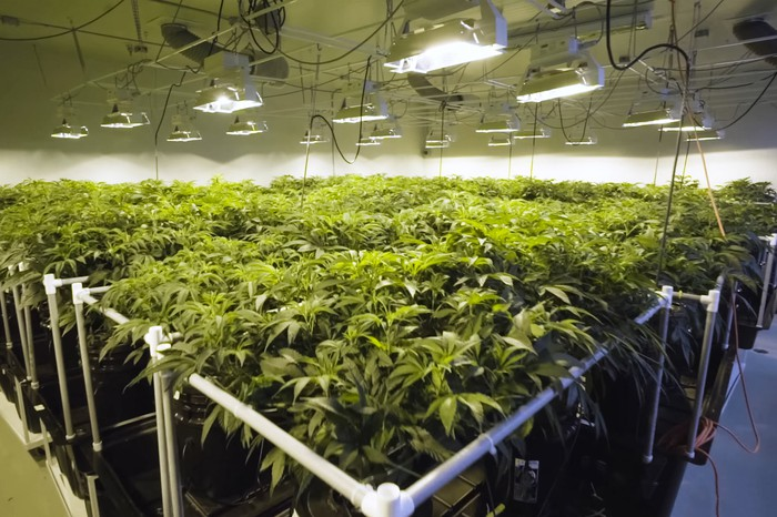 Cannabis plants growing under lights