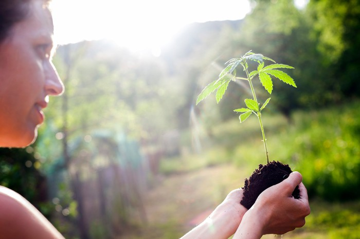 A woman holds a cannabis seedling.