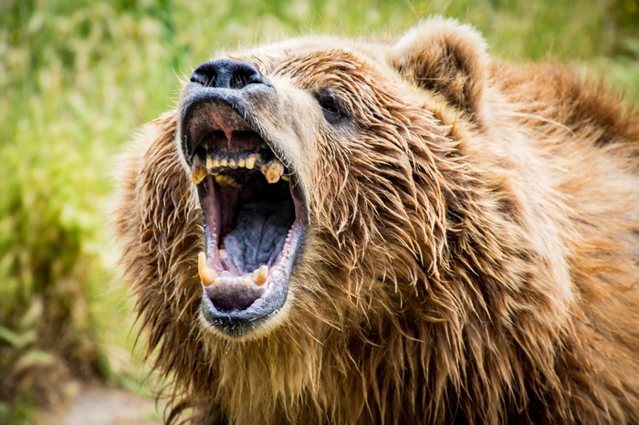 Grizzly bear roaring, with green bushes behind.