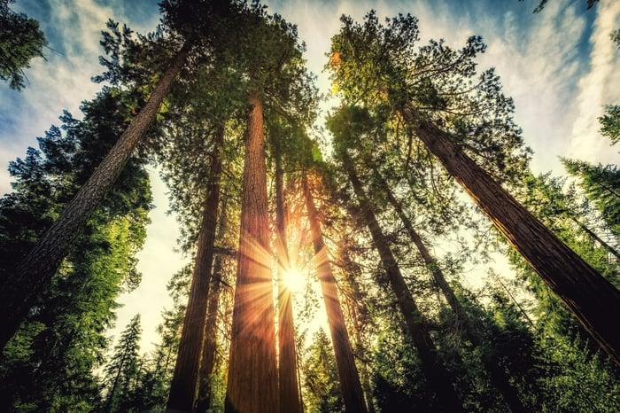 Soleil qui brille entre les séquoias