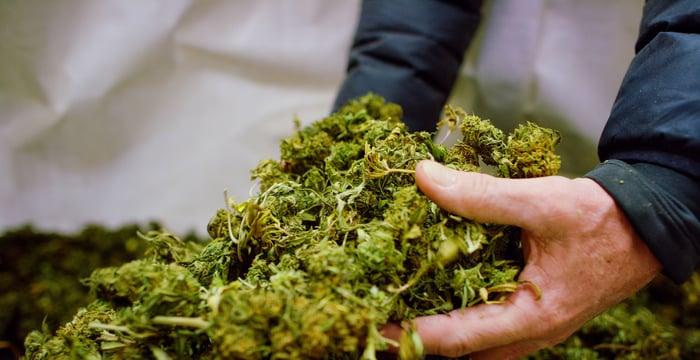 Les mains ramassent des tas de boutons de fleurs de marijuana séchées