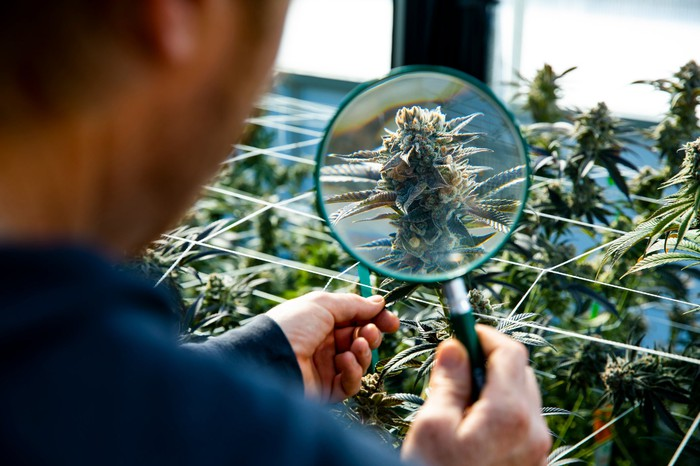 A man looking at a marijuna plant ready for harvest with a magnifying glass.