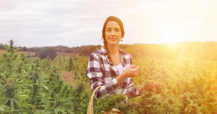 Woman harvesting cannabis in a hemp field.