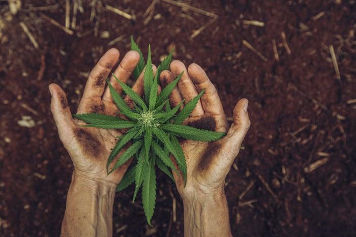 A hand holding a marijuana plant.
