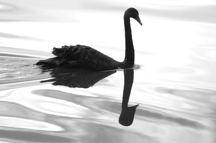 Picture of a black swan