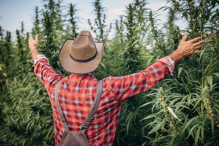 Farmer with back turned arms outstretched in front of a field of cannabis plants.