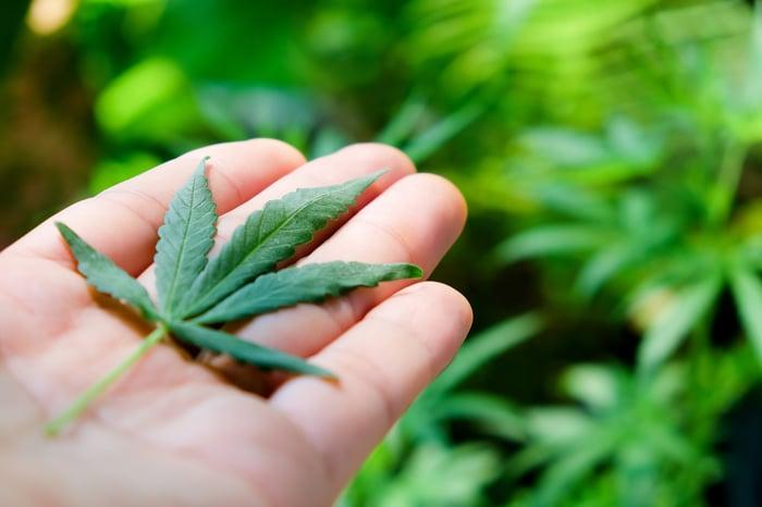 Marijuana leaf on a hand