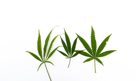 3 cannabis leaves