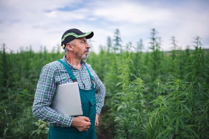 A man standing in a hemp field