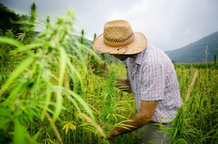 A farmer growing medical marijuana plants