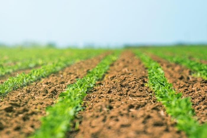 Soybean crops.