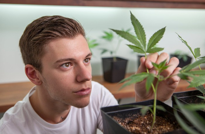 A dispensary worker closely examines a cannabis sapling growing in a small container.