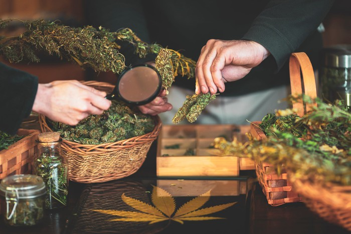 Two hands inspect marijuana buds in baskets on a table in a dispensary with a magnifying glass.