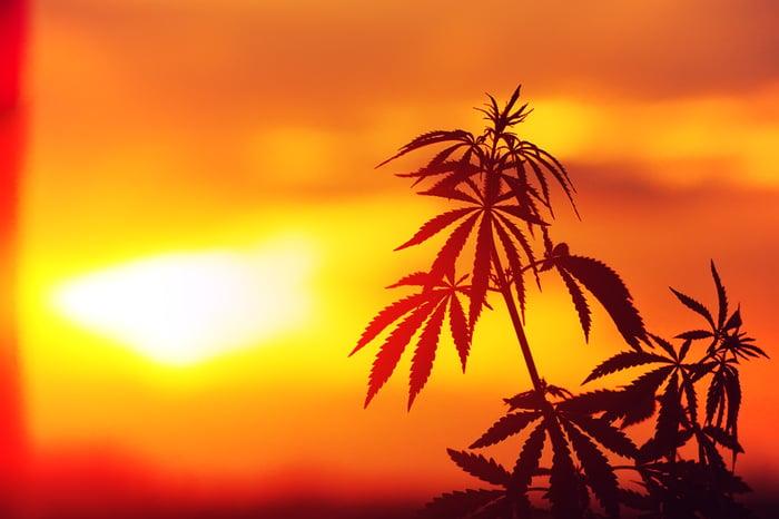 Marijuana plant in the sunset.