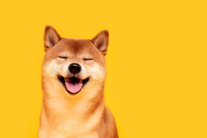 A Shiba Inu dog against a yellow background.