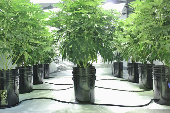 Multiple rows of hydroponic-grown potted cannabis plants in an indoor farm.