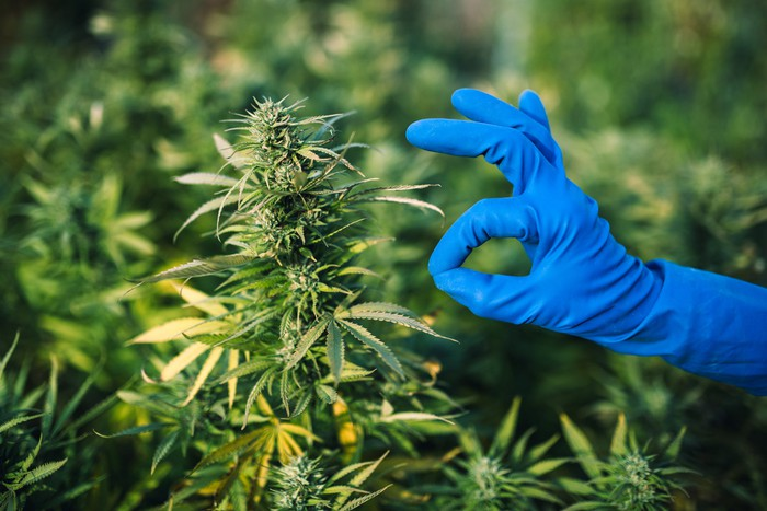 Blue-gloved hand making OK sign in front of marijuana plants.