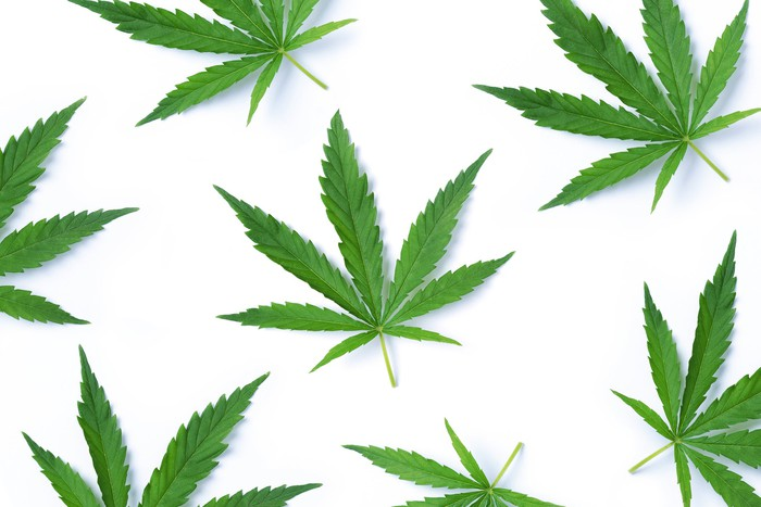 Isolated cannabis leaves against a white background