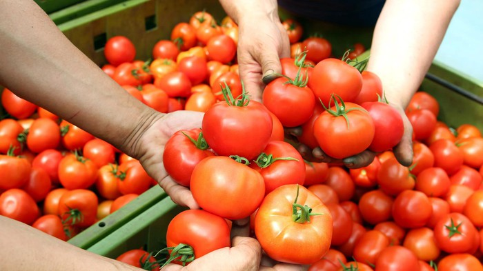 Several hands holding tomatoes above multiple bins.