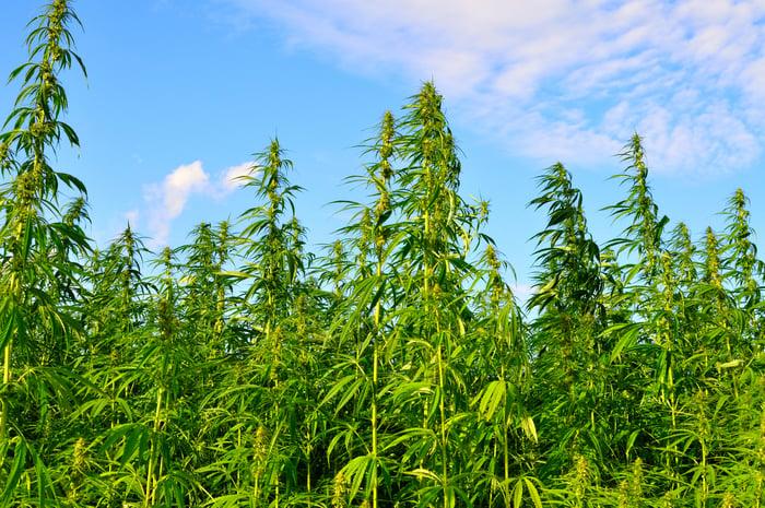 Cannabis plants grow tall under bright blue skies.