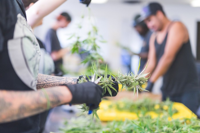 Workers process cannabis in a cultivation facility.