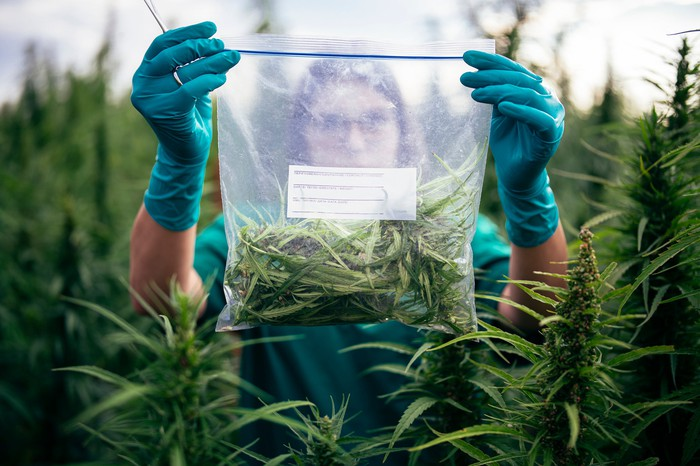 A person in a cannabis field holding up a ziplock bag that contains marijuana plant.