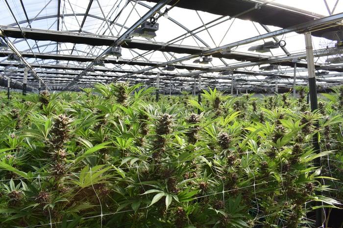 Plantes de cannabis poussant dans une serre.