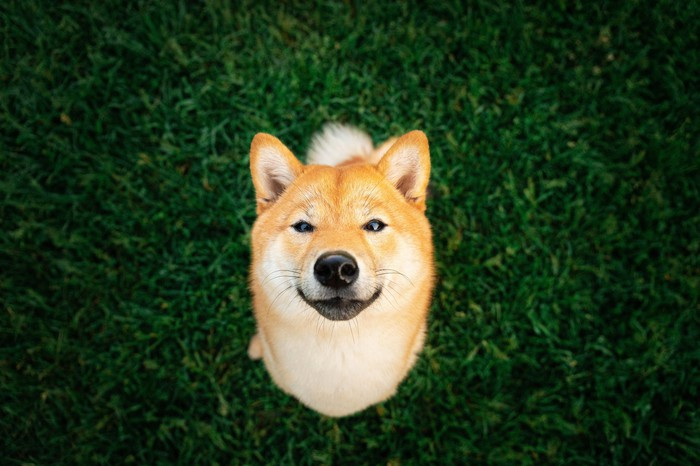 A Shiba Inu dog seated sitting on grass and looking up.