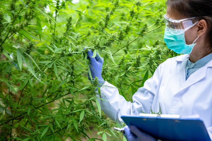 Person inspecting cannabis plants outdoors.