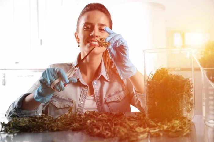 Staff trimming marijuana buds.