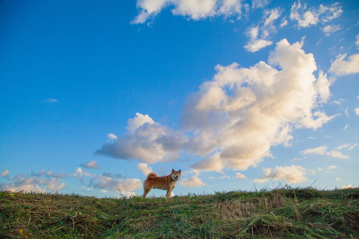 A Shiba Inu on the skyline against a blue sky with sunlit cumulus clouds.