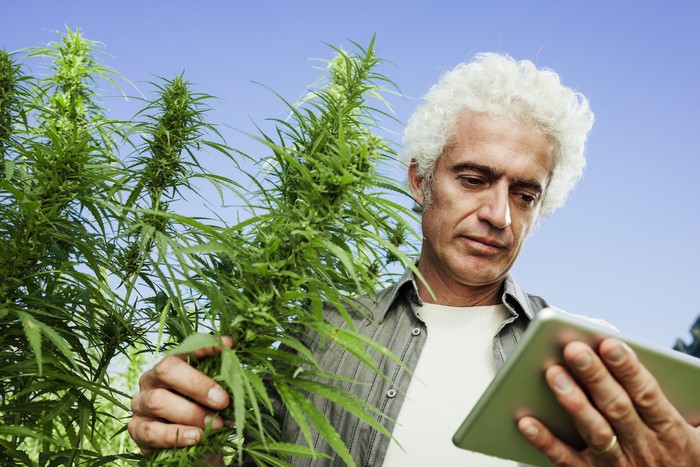 A person in a marijuana field looking at a small tablet computer.