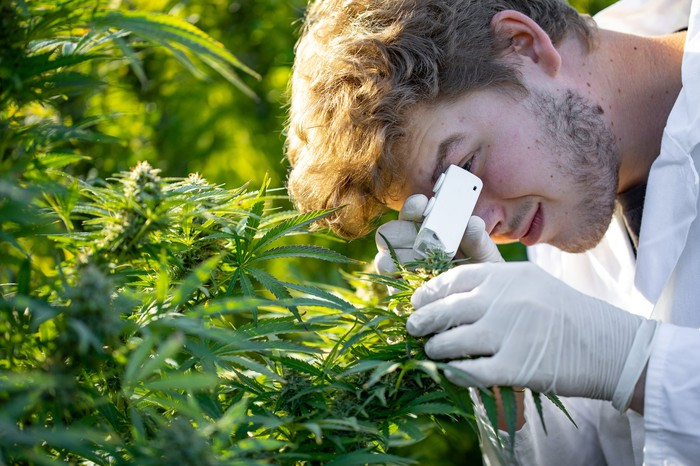 A person looking at a marijuana plant with a small microscope.