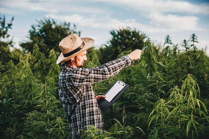 A person surveying a cannabis plant field while holding a clipboard.