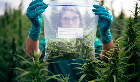 A person looking at a cannabis plant outdoors.