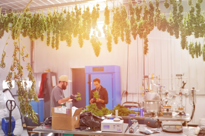 marijuana plants hanging to dry with workers looking at product.