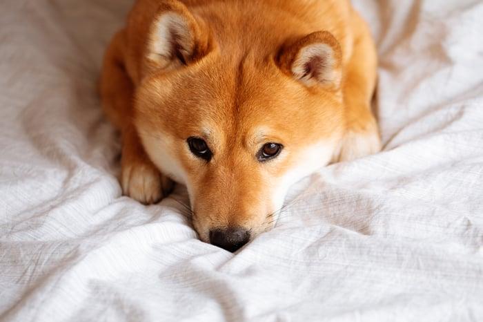 A Shiba Inu dog crouching down on bed sheets.