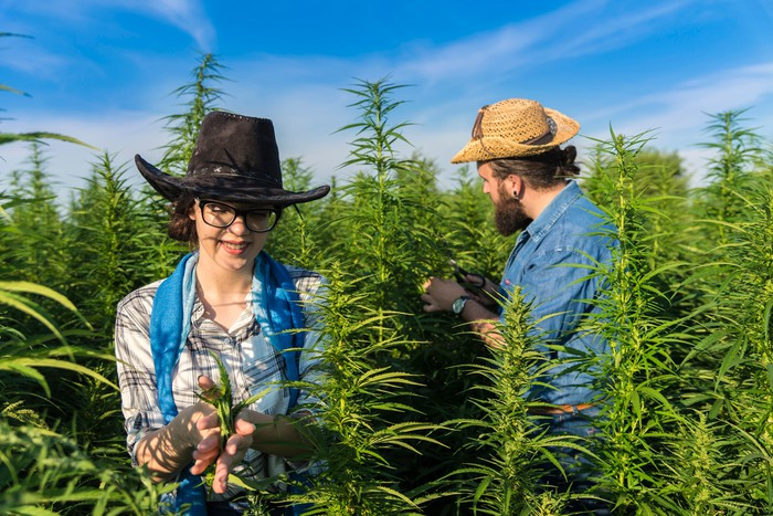 Two people in a cannabis plant farm.