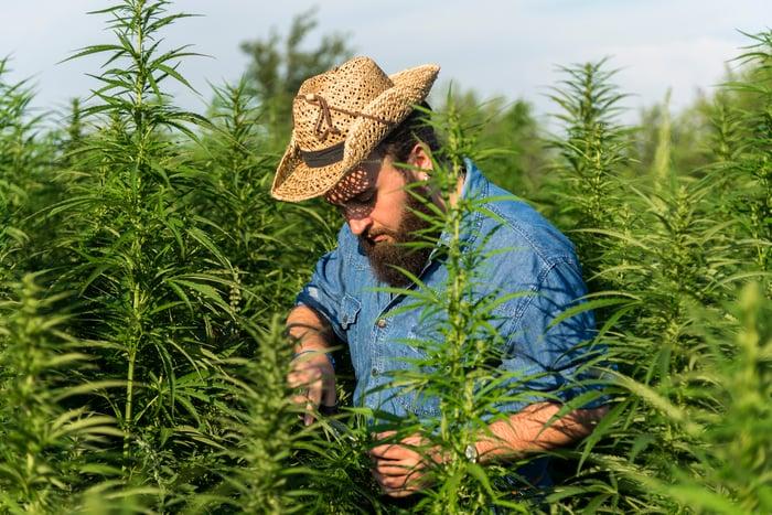Man harvesting marijuana