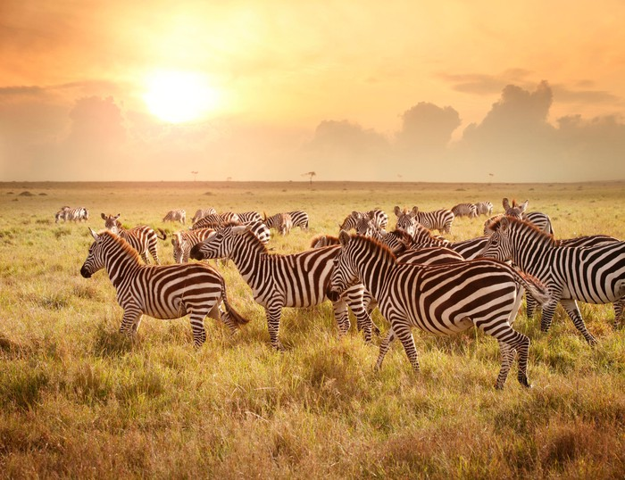 A herd of zebras grazing in an open field with a bright sun in the background.