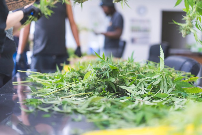 marijuana plants with several greenhouse workers.
