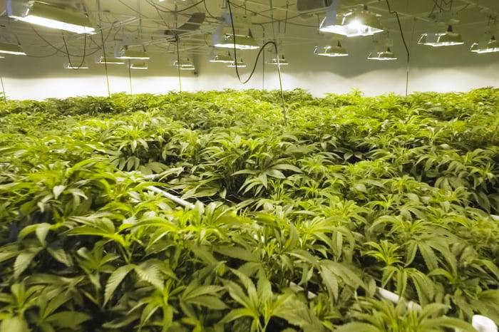 Cannabis plants growing under indoor lights.