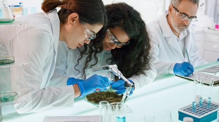 Trois scientifiques dans un laboratoire et deux examinent une plante de cannabis.