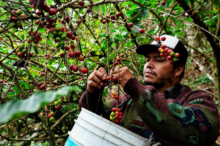a coffee bean picker pickes coffee beans and puts them in a harvesting bucket.