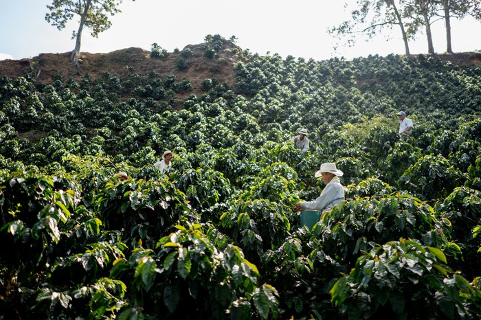 Workers on a coffee farm harvesting beans.